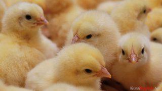 Peternak Merugi, Harga Ayam DOC Melambung Lebih dari Rp 6.000/Ekor