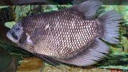 Ikan Gurame - id.wikipedia.org