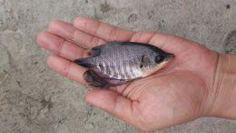 Ikan Gurame Kecil - www.bukalapak.com