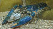 Lobster Air Tawar - www.agrowindo.com